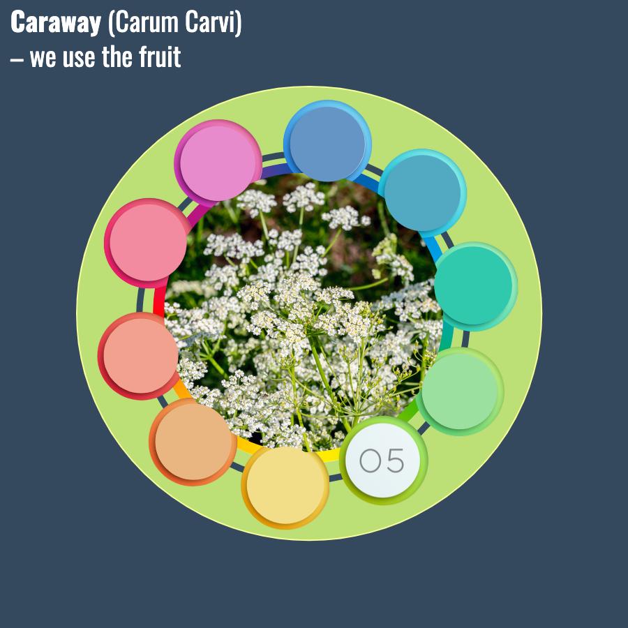 Carum Carvi